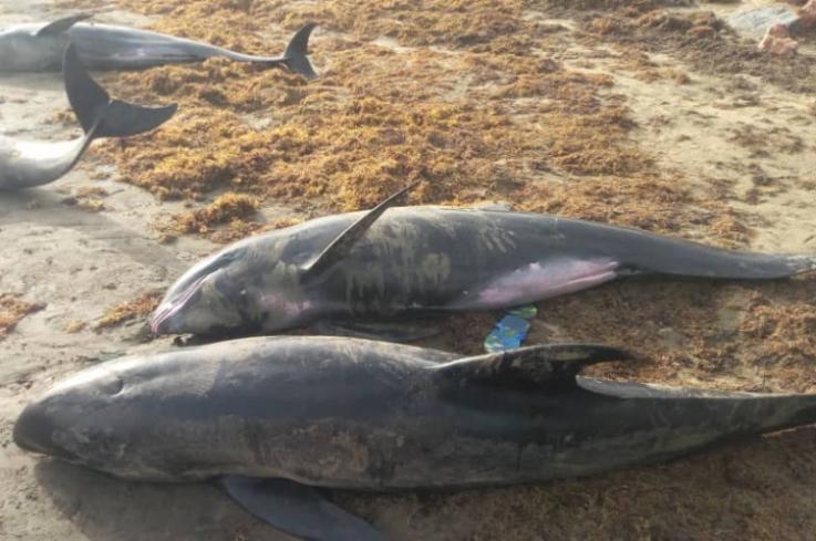 Հարյուրավոր սատկած դելֆիններ ու ձկներ են դուրս եկել Գանայի լողափեր