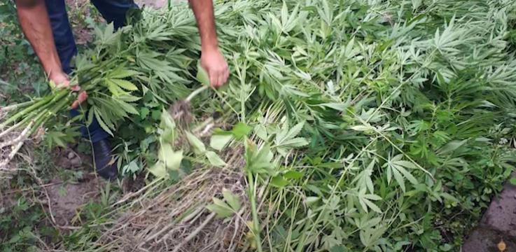 Հայտնաբերվել է 626 հատ կանեփի բույս․ Ախուրյանի ոստիկանների բացահայտումը